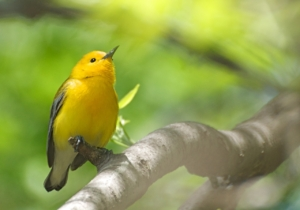 The striking Prothonotary Warbler is on PIF's Yellow Watch List because of persistent declines throughout its range and high threats to both breeding and winter habitats. The Lower Mississippi Valley Joint Venture is working to restore large contiguous forest blocks to benefit this and other bottomland hardwood forest specialists. © Laura Kammermeier