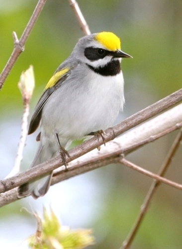 Golden-winged Warbler © Bill Hubick