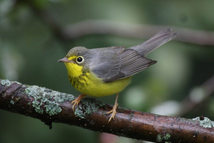 Canada Warbler © Jeremy Meyer courtesy U.S. Fish and Wildlife Service