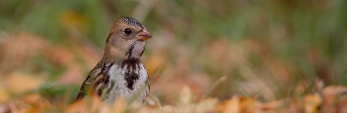 Harris's Sparrow is on the D-Yellow Watch List © Ian Davies/eBird