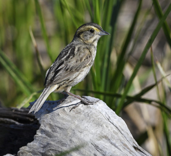 Saltmarsh Sparrow at Coastal Maine at Popham Beach State Park © Dave Krueper b