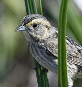 Saltmarsh Habitat & Avian Research Program (SHARP) Update