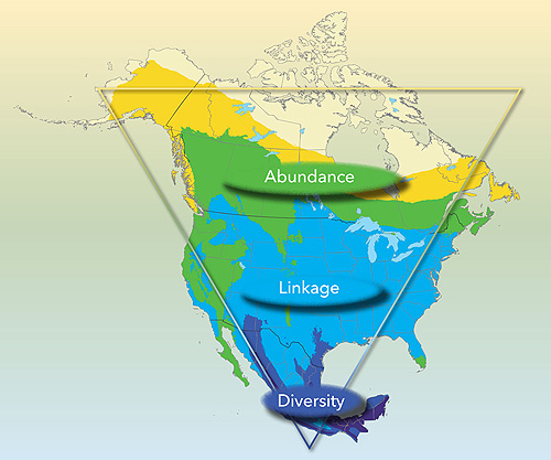 "The unique ""triangular"" geography of North America shapes the birdlife in our three nations. The vast expanses of northern Canada and Alaska support relatively few breeding landbird species added up over such a large area; however, their total numbers are enormous. In contrast, a tremendous diversity of bird species, many with very small global populations, thrives in the narrow region of southern Mexico, where temperate and tropical systems meet. These disparate regions of great abundance and diversity are joined through the annual migrations of billions of birds, funneling southward across the continent each fall and expanding back into the northern latitudes each spring. Preserving this spectacle of birdlife requires a tri-national vision for conservation action."