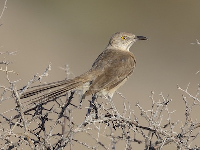 Bendire's Thrasher is highly threatened by urban and agricultural expansion in the desert Southwest.