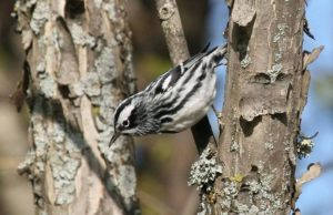 Black-and-white Warbler @ Jeff Koch