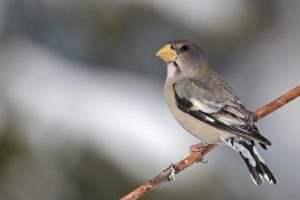 Evening Grosbeak © Bellemare Celine/Macaulay Library, Cornell Lab of Ornithology
