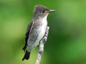 Sallying from the tops of the tallest trees, Olive-sided flycatchers depend on aerial insects year-round—steep declines in this Yellow Watch List species parallel declines in other aerial insectivores such as swifts, swallows, and nightjars. ©Jerry Chen/Macaulay Library, Cornell Lab of Ornithology