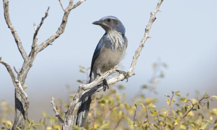 California Scrub Jay in habitat, San Bernardino NF, Riverside, California by Brian Sullivan