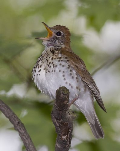 The hauntingly beautiful, flute-like song of the Wood Thrush has made it a favorite for birders, and thus a prominent example of declining forest songbirds in North America. ©Jeff Moore /Macaulay Library at Cornell Lab of Ornithology ML39695681
