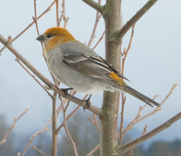 Pine Grosbeak © Gwen Baluss.