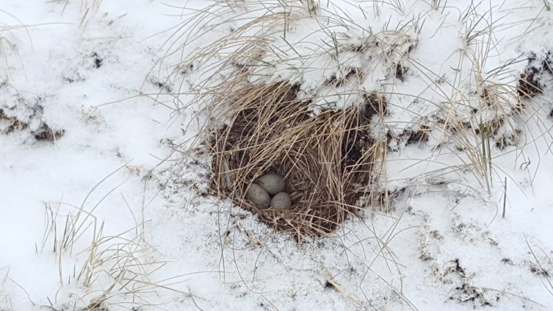 Alpine Horned Lark nest with three eggs, surrounded by snow after a June snowstorm.